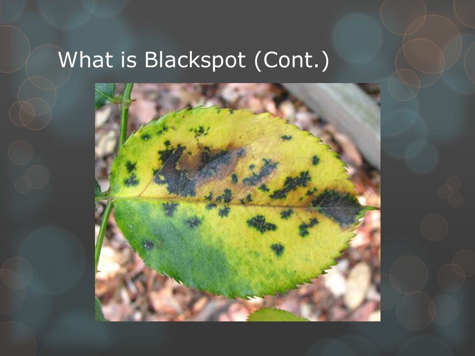 What is Blackspot (Cont.)