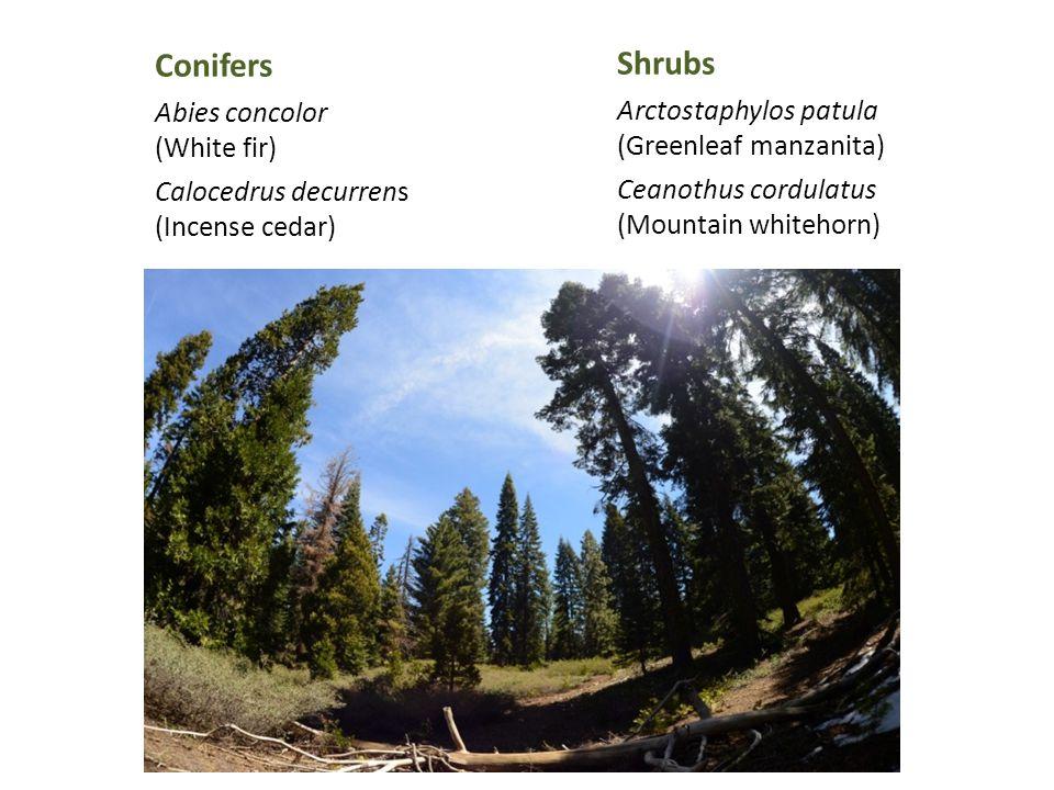 Conifers Abies concolor (White fir) Calocedrus decurrens (Incense cedar) Shrubs Arctostaphylos patula (Greenleaf manzanita) Ceanothus cordulatus (Mountain whitehorn)