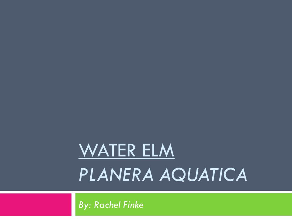 WATER ELM PLANERA AQUATICA By: Rachel Finke
