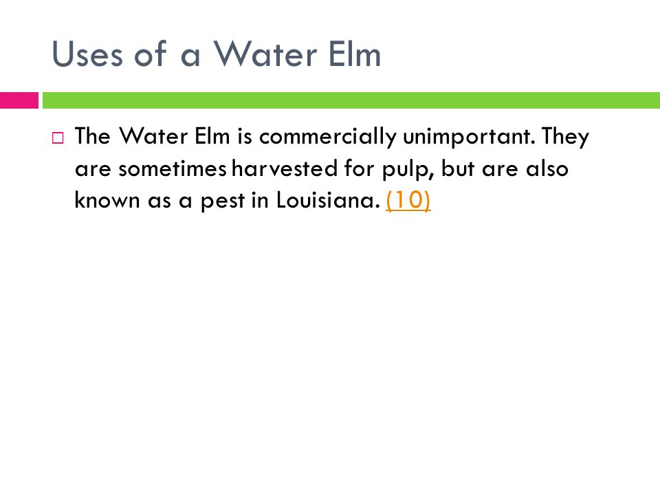 Uses of a Water Elm  The Water Elm is commercially unimportant. They are sometimes harvested for pulp, but are also known as a pest in Louisiana. (10