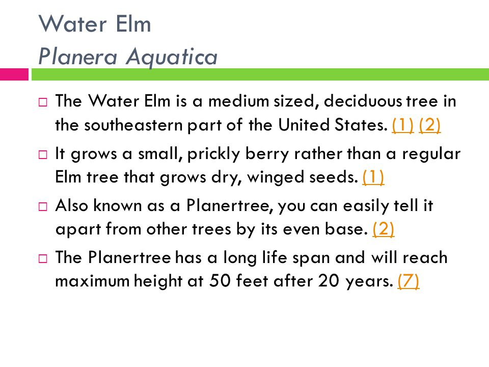 Water Elm Planera Aquatica  The Water Elm is a medium sized, deciduous tree in the southeastern part of the United States. (1) (2)(1)(2)  It grows a