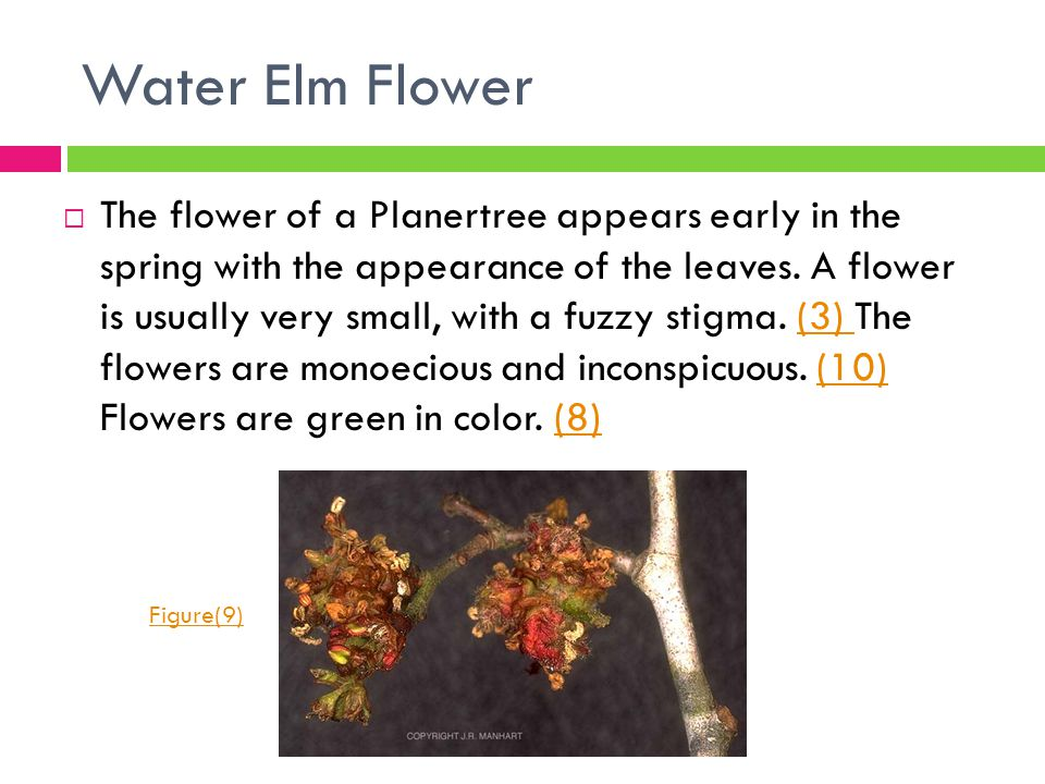 Water Elm Flower  The flower of a Planertree appears early in the spring with the appearance of the leaves. A flower is usually very small, with a fu