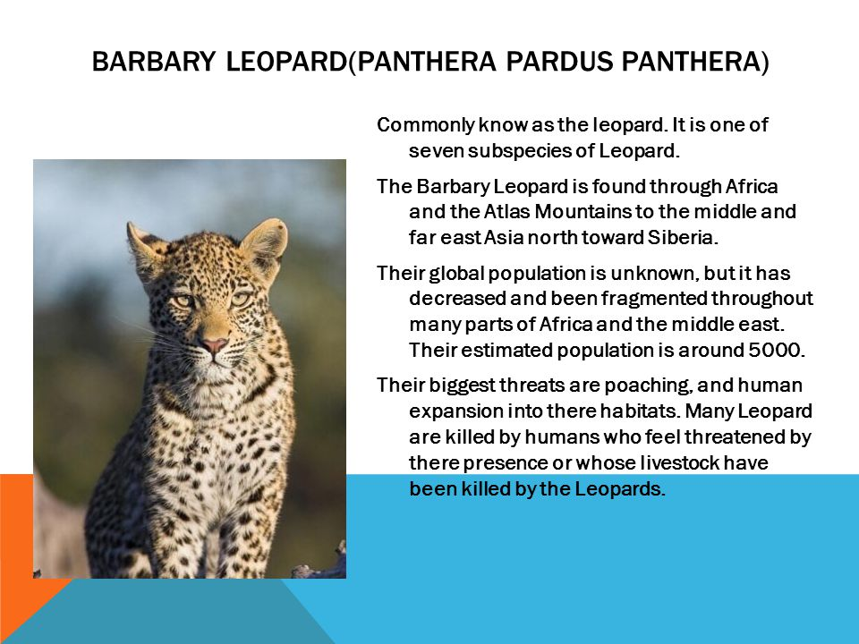 Commonly know as the leopard. It is one of seven subspecies of Leopard. The Barbary Leopard is found through Africa and the Atlas Mountains to the mid