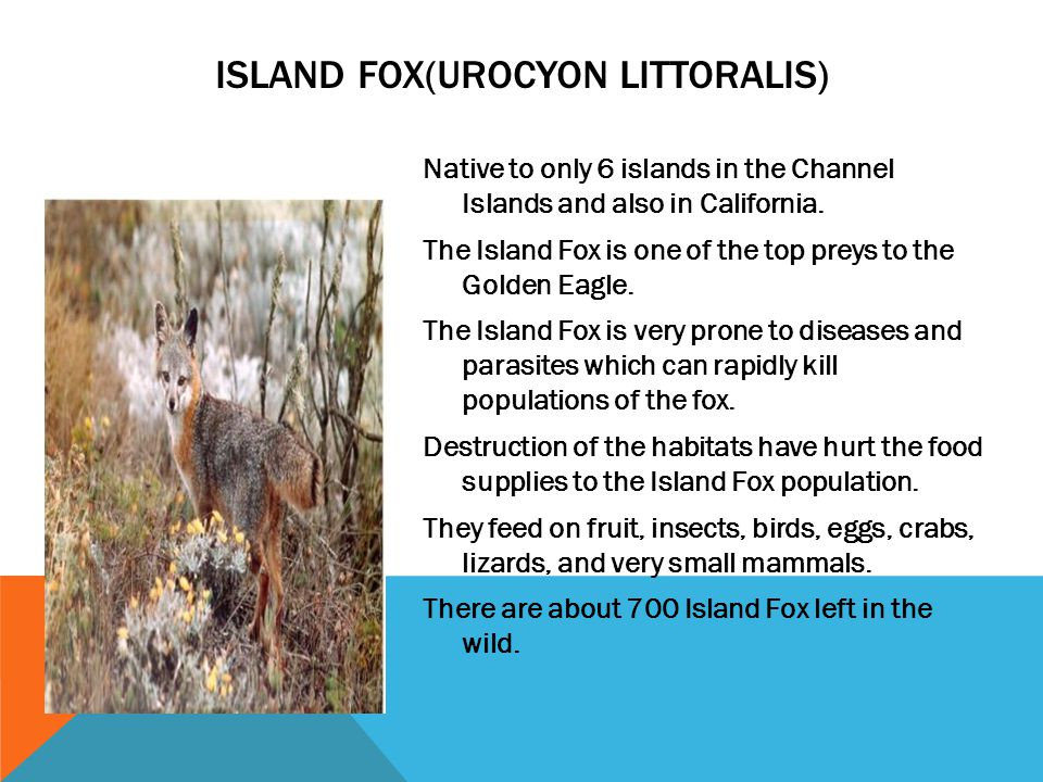 Native to only 6 islands in the Channel Islands and also in California. The Island Fox is one of the top preys to the Golden Eagle. The Island Fox is