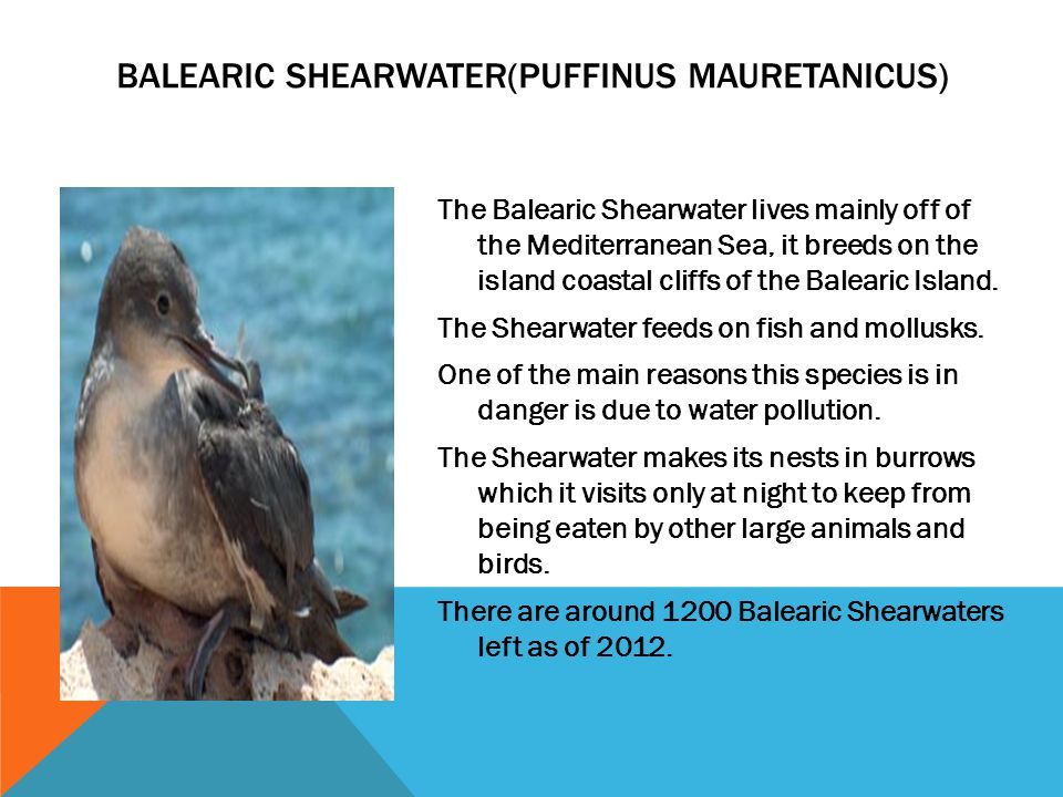 The Balearic Shearwater lives mainly off of the Mediterranean Sea, it breeds on the island coastal cliffs of the Balearic Island. The Shearwater feeds