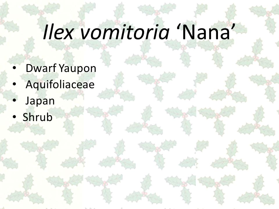Ilex vomitoria 'Nana' Dwarf Yaupon Aquifoliaceae Japan Shrub