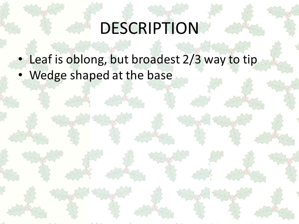 DESCRIPTION Leaf is oblong, but broadest 2/3 way to tip Wedge shaped at the base