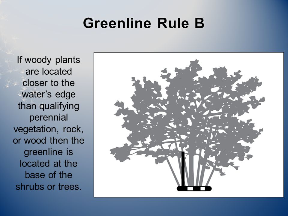 If woody plants are located closer to the water's edge than qualifying perennial vegetation, rock, or wood then the greenline is located at the base of the shrubs or trees.