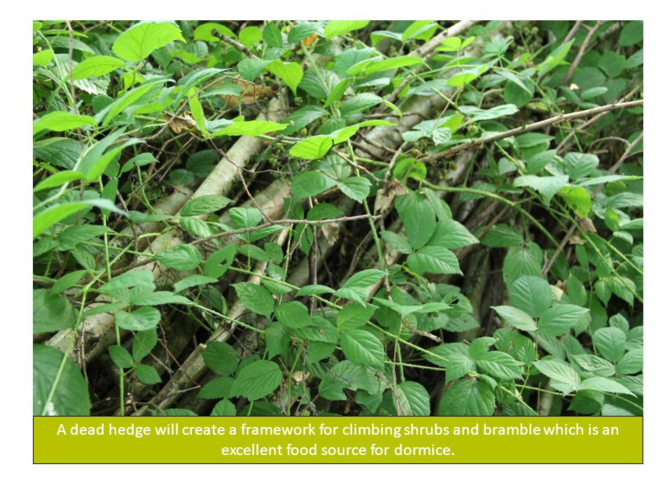 A dead hedge will create a framework for climbing shrubs and bramble which is an excellent food source for dormice.