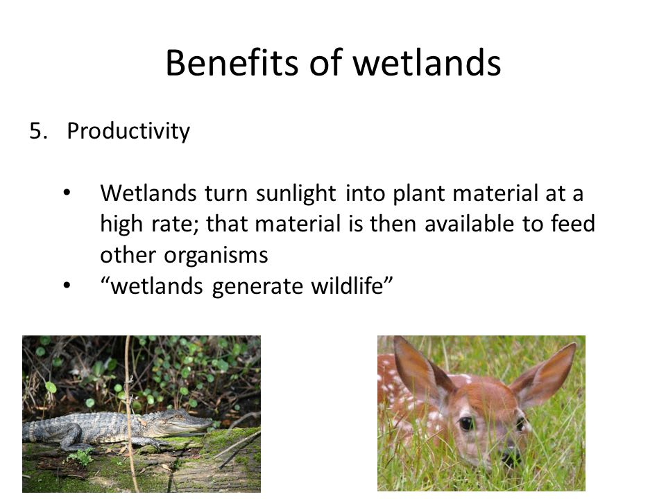 Benefits of wetlands 5.Productivity Wetlands turn sunlight into plant material at a high rate; that material is then available to feed other organisms wetlands generate wildlife