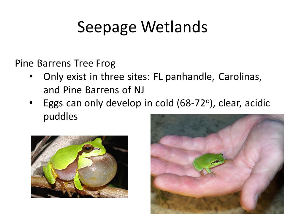 Seepage Wetlands Pine Barrens Tree Frog Only exist in three sites: FL panhandle, Carolinas, and Pine Barrens of NJ Eggs can only develop in cold (68-72 o ), clear, acidic puddles