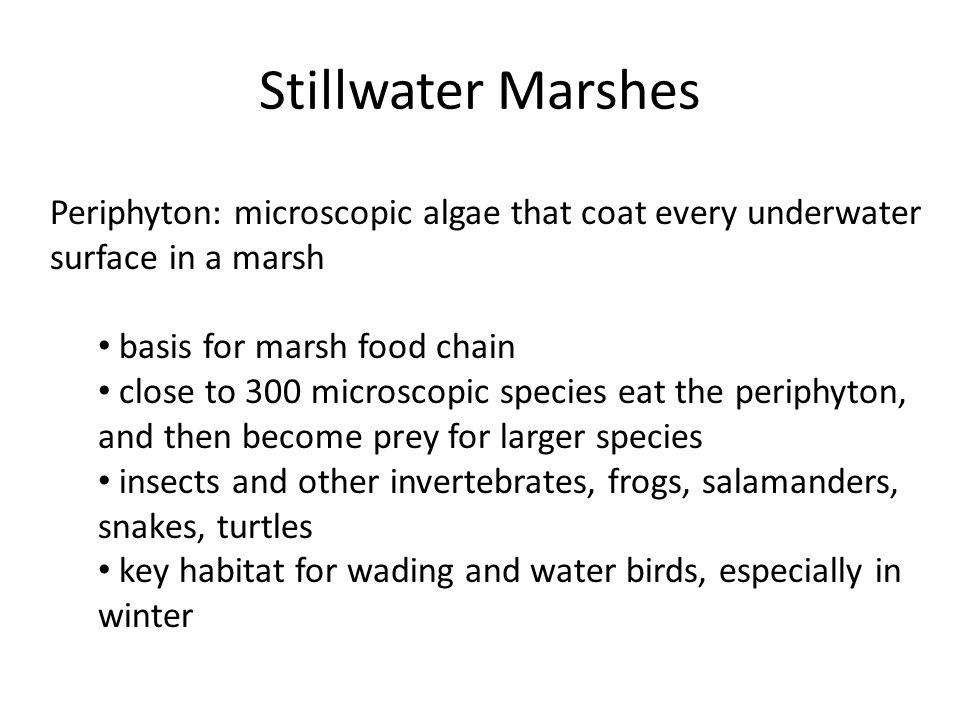 Stillwater Marshes Periphyton: microscopic algae that coat every underwater surface in a marsh basis for marsh food chain close to 300 microscopic species eat the periphyton, and then become prey for larger species insects and other invertebrates, frogs, salamanders, snakes, turtles key habitat for wading and water birds, especially in winter