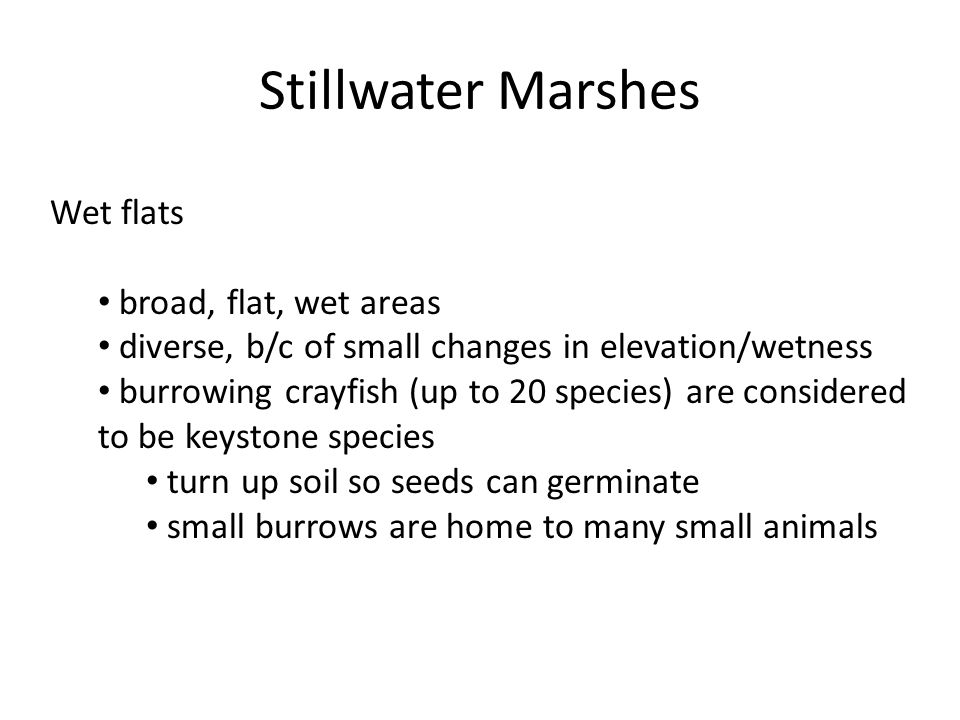 Stillwater Marshes Wet flats broad, flat, wet areas diverse, b/c of small changes in elevation/wetness burrowing crayfish (up to 20 species) are considered to be keystone species turn up soil so seeds can germinate small burrows are home to many small animals
