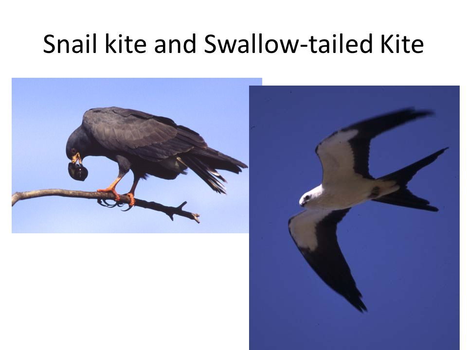 Snail kite and Swallow-tailed Kite