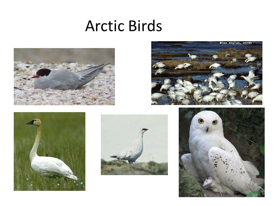 Arctic Birds <