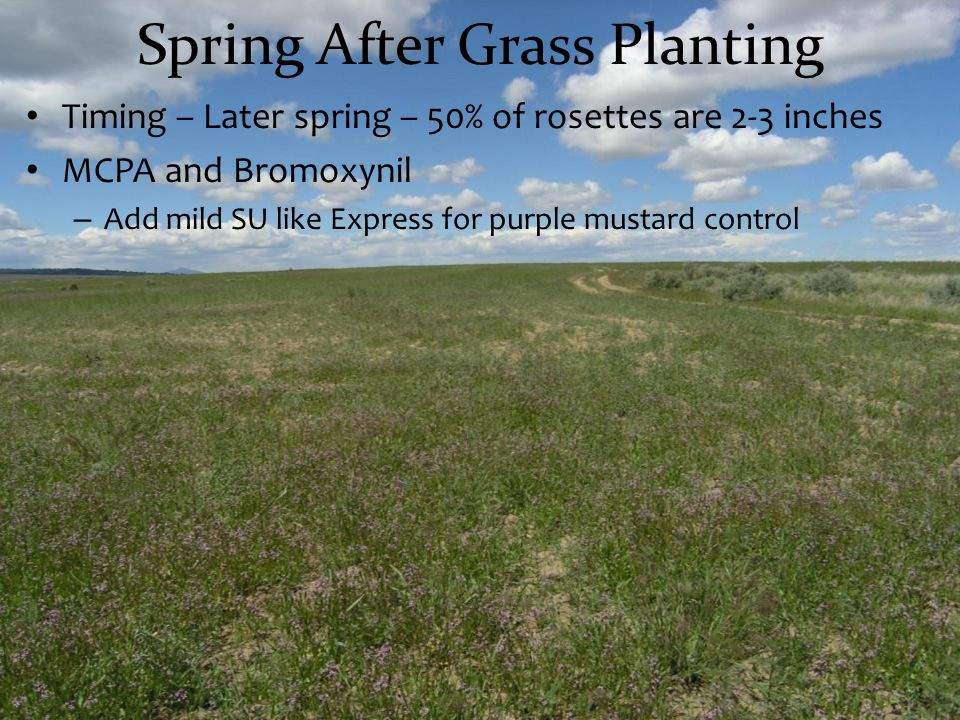 Timing – Later spring – 50% of rosettes are 2-3 inches MCPA and Bromoxynil – Add mild SU like Express for purple mustard control