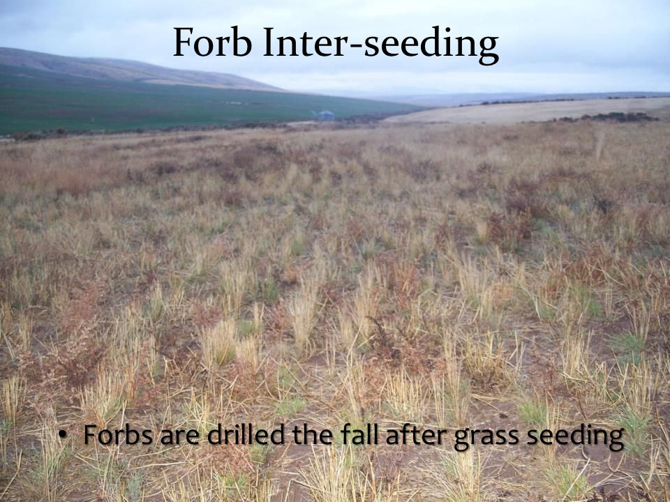 Forb Inter-seeding Forbs are drilled the fall after grass seeding Forbs are drilled the fall after grass seeding