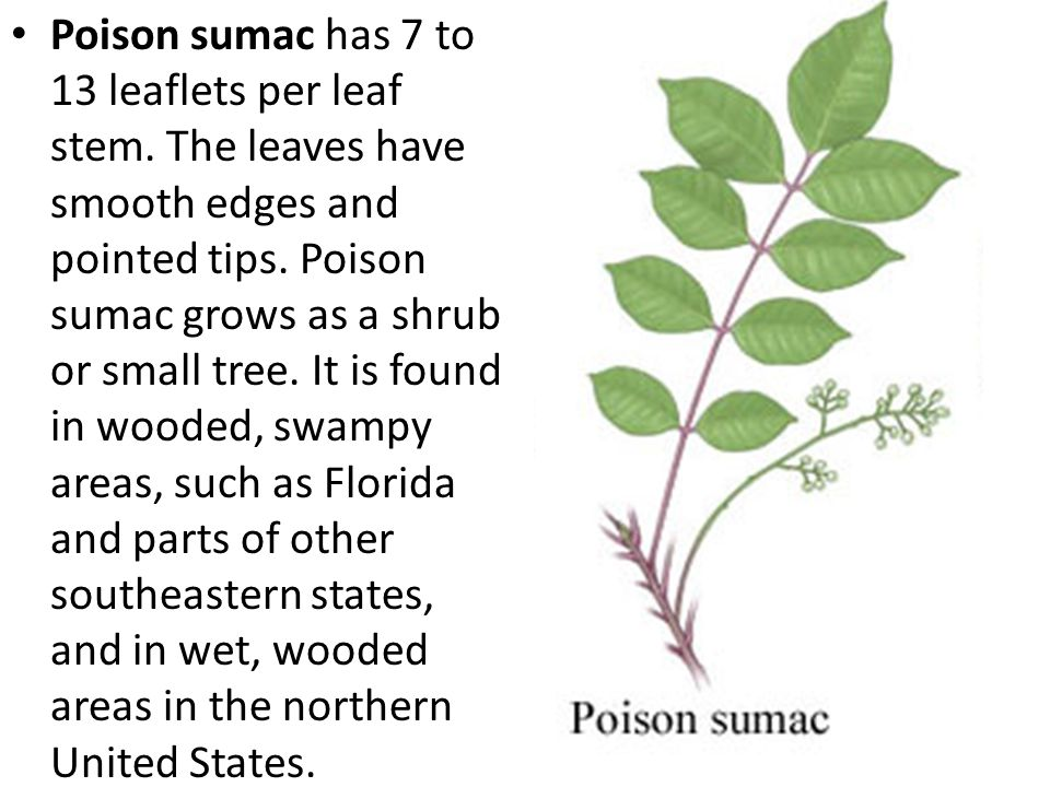 Poison ivy usually has three broad, spoon- shaped leaves or leaflets ( Leaves of three.