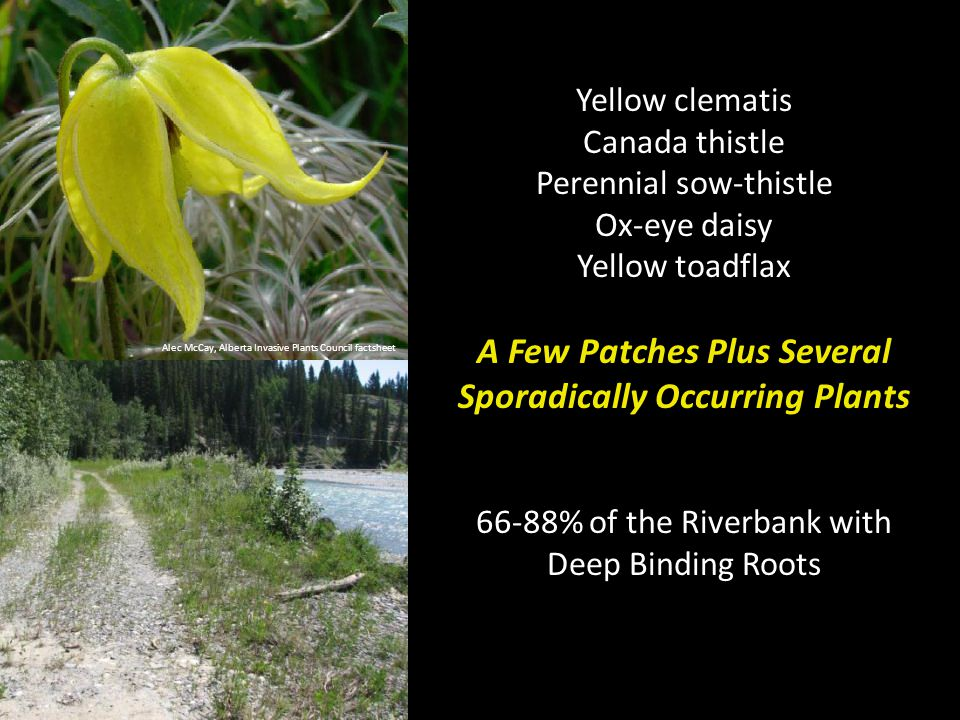 Alec McCay, Alberta Invasive Plants Council factsheet Yellow clematis Canada thistle Perennial sow-thistle Ox-eye daisy Yellow toadflax A Few Patches Plus Several Sporadically Occurring Plants 66-88% of the Riverbank with Deep Binding Roots