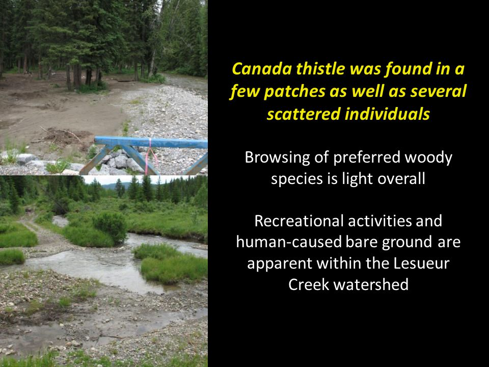 Canada thistle was found in a few patches as well as several scattered individuals Browsing of preferred woody species is light overall Recreational activities and human-caused bare ground are apparent within the Lesueur Creek watershed