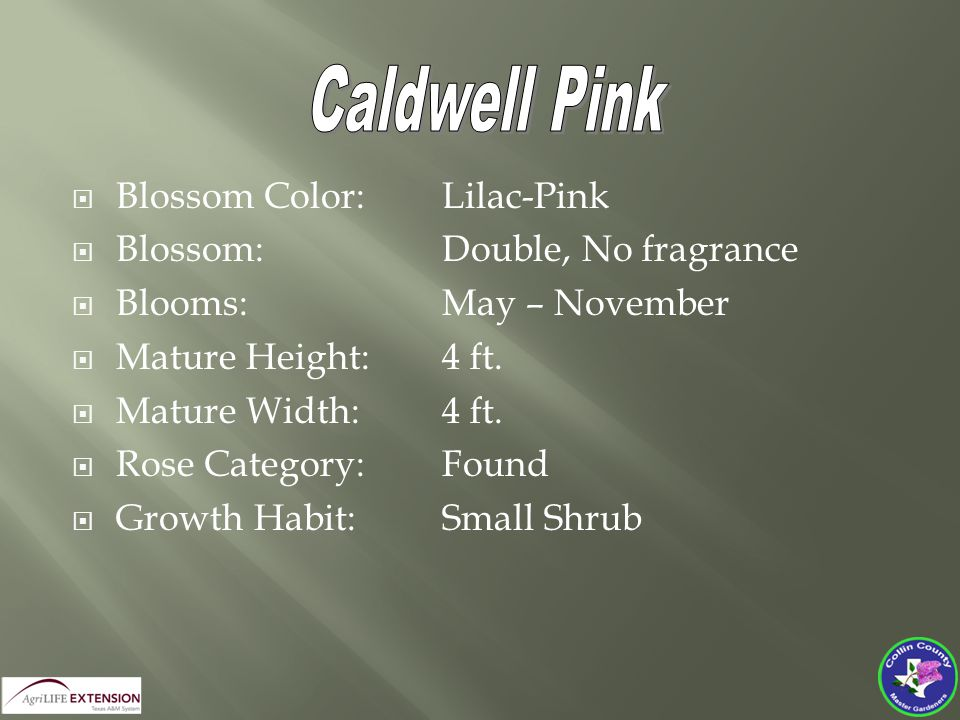  Blossom Color:Lilac-Pink  Blossom:Double, No fragrance  Blooms:May – November  Mature Height:4 ft.