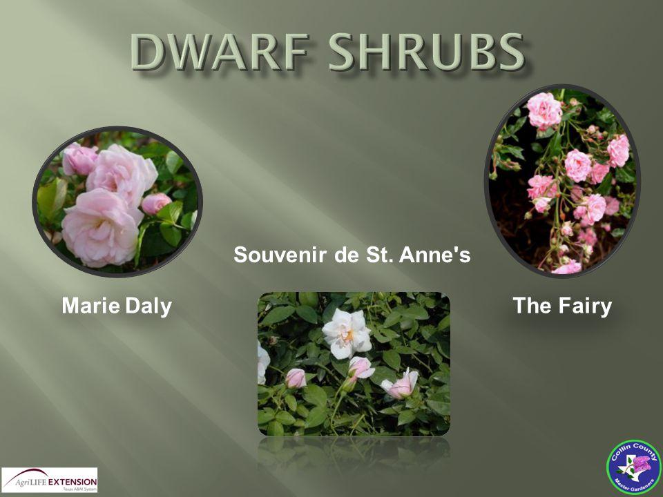 The Fairy Marie Daly Souvenir de St. Anne s