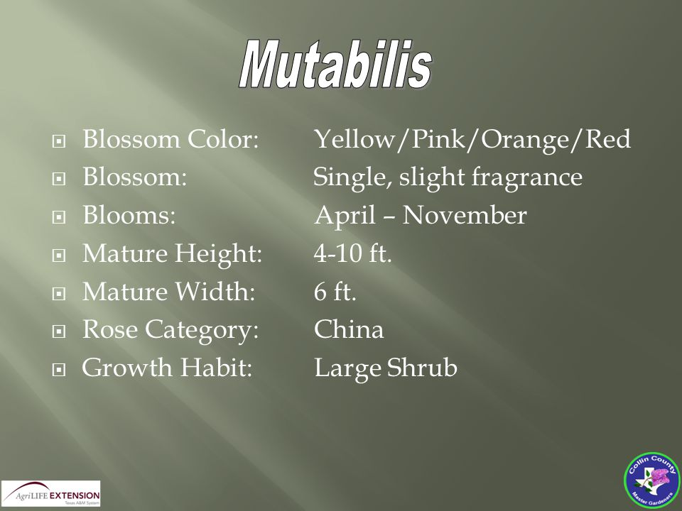 Blossom Color: Yellow/Pink/Orange/Red  Blossom:Single, slight fragrance  Blooms:April – November  Mature Height:4-10 ft.