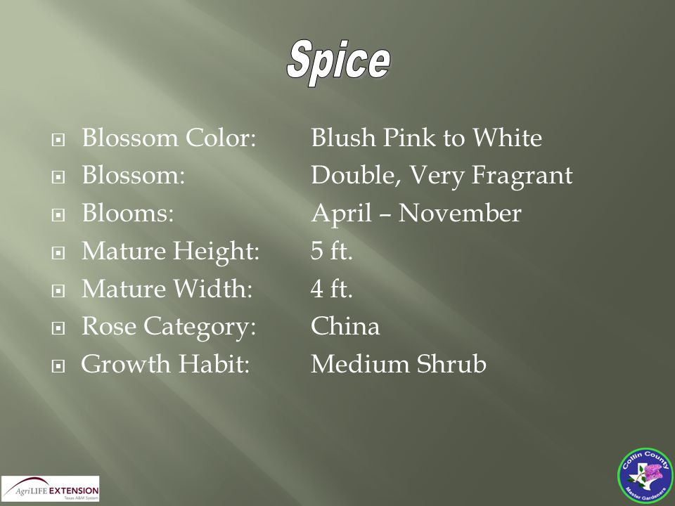  Blossom Color:Blush Pink to White  Blossom:Double, Very Fragrant  Blooms:April – November  Mature Height:5 ft.