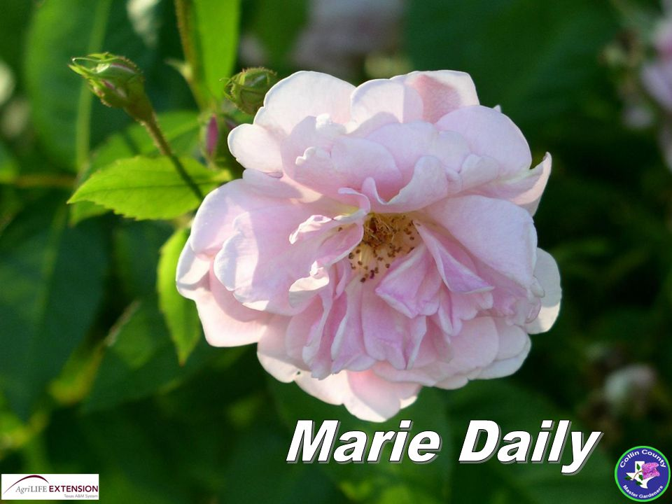  Blossom Color:Rose Pink  Blossom:Very double, Fragrant  Blooms: April – November  Mature Height:6 ft.