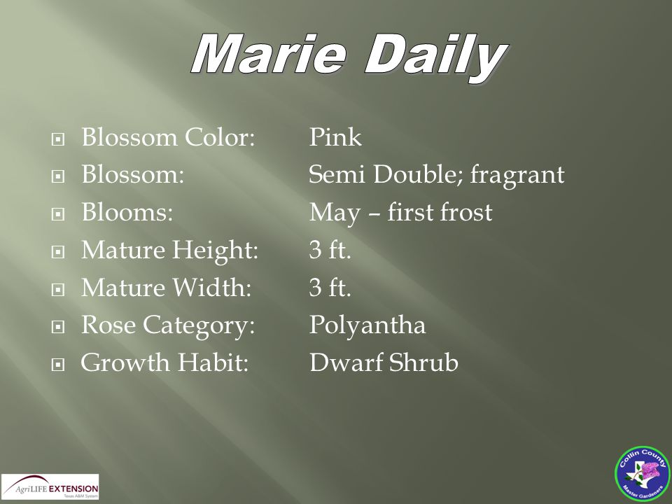  Blossom Color:Pink  Blossom: Semi Double; fragrant  Blooms:May – first frost  Mature Height:3 ft.  Mature Width:3 ft.  Rose Category: Polyantha
