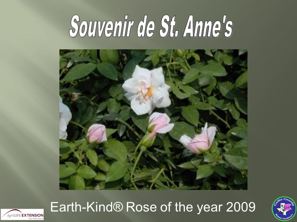 Earth-Kind® Rose Of The Year 2010