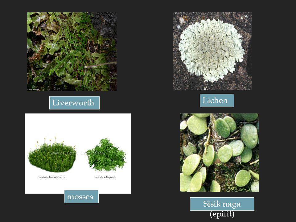Liverworth mosses Lichen Sisik naga (epifit)