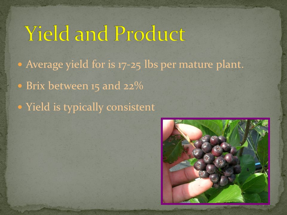 Average yield for is 17-25 lbs per mature plant.
