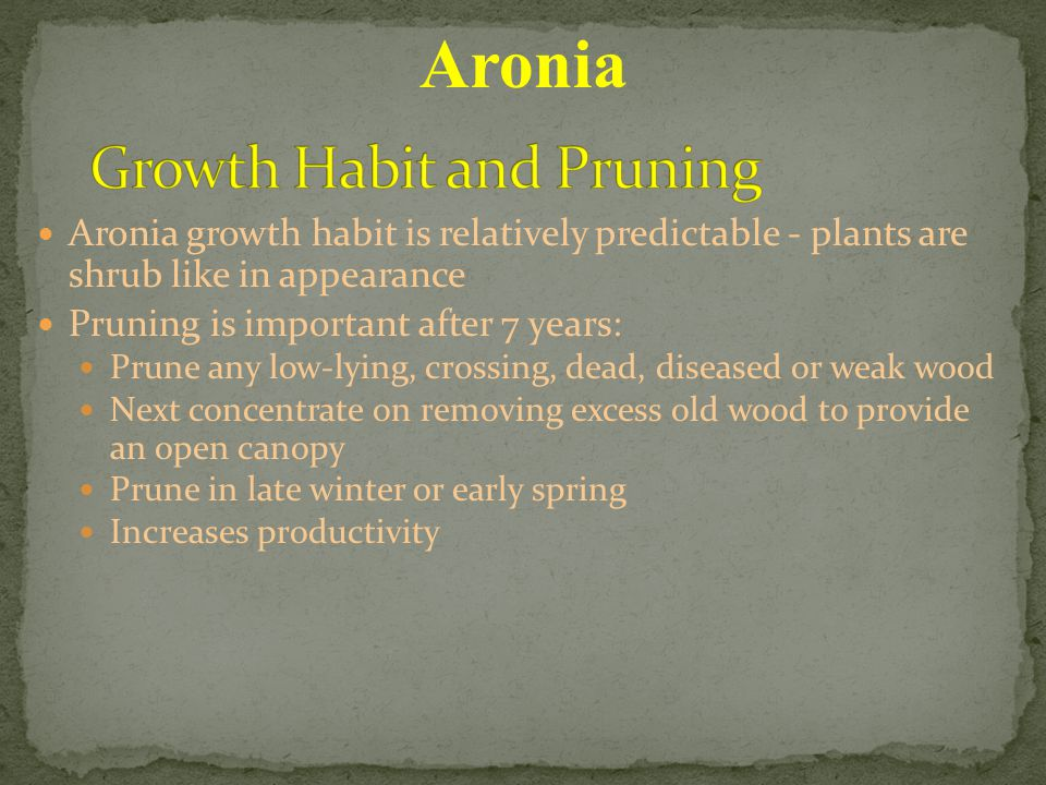 Aronia growth habit is relatively predictable - plants are shrub like in appearance Pruning is important after 7 years: Prune any low-lying, crossing, dead, diseased or weak wood Next concentrate on removing excess old wood to provide an open canopy Prune in late winter or early spring Increases productivity Aronia