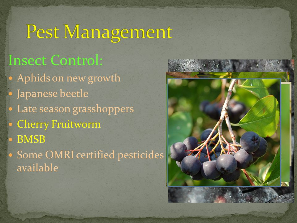 Insect Control: Aphids on new growth Japanese beetle Late season grasshoppers Cherry Fruitworm BMSB Some OMRI certified pesticides available