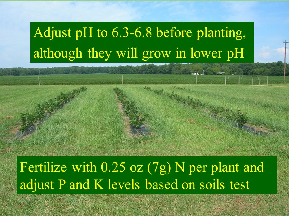 Adjust pH to 6.3-6.8 before planting, although they will grow in lower pH Fertilize with 0.25 oz (7g) N per plant and adjust P and K levels based on soils test