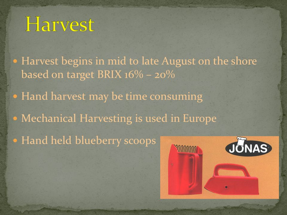 Harvest begins in mid to late August on the shore based on target BRIX 16% – 20% Hand harvest may be time consuming Mechanical Harvesting is used in Europe Hand held blueberry scoops