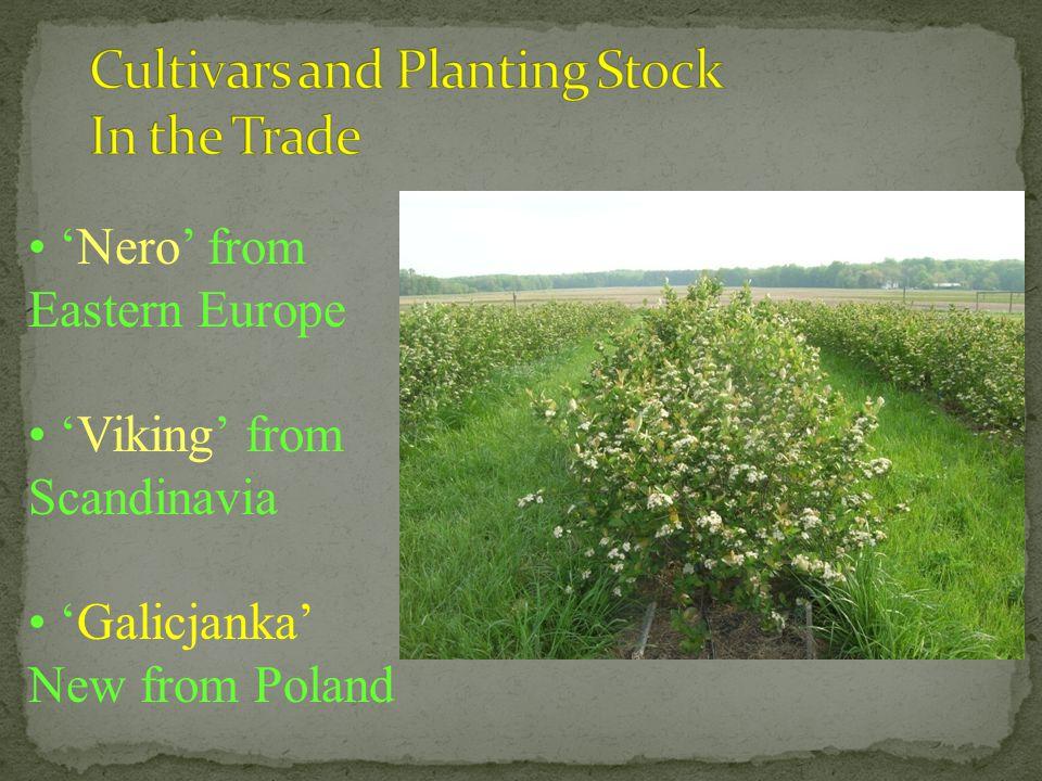 'Nero' from Eastern Europe 'Viking' from Scandinavia 'Galicjanka' New from Poland
