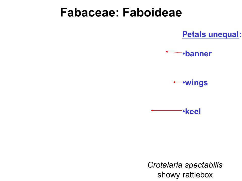 Fabaceae: Faboideae Crotalaria spectabilis showy rattlebox Petals unequal: banner wings keel
