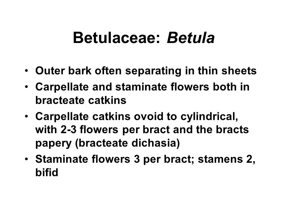 Betulaceae: Betula Outer bark often separating in thin sheets Carpellate and staminate flowers both in bracteate catkins Carpellate catkins ovoid to c