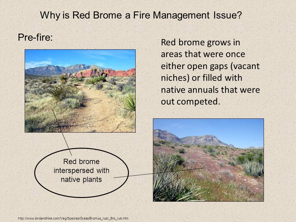 http://www.birdandhike.com/Veg/Species/Grass/Bromus_rub/_Bro_rub.htm Why is Red Brome a Fire Management Issue.