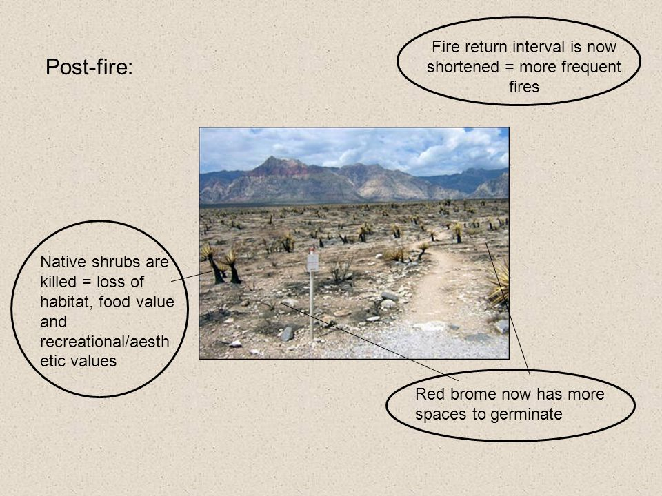 Post-fire: Native shrubs are killed = loss of habitat, food value and recreational/aesth etic values Red brome now has more spaces to germinate Fire return interval is now shortened = more frequent fires