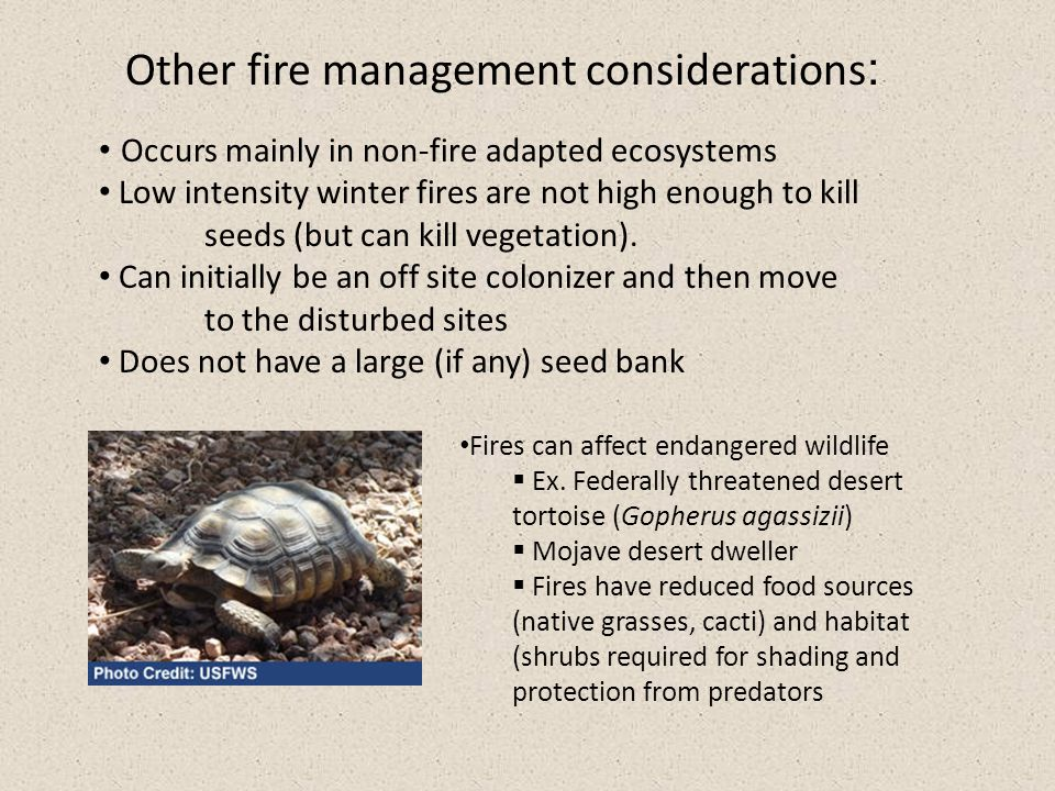 Other fire management considerations : Occurs mainly in non-fire adapted ecosystems Low intensity winter fires are not high enough to kill seeds (but can kill vegetation).