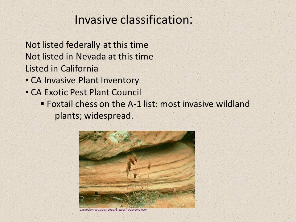 Invasive classification : Not listed federally at this time Not listed in Nevada at this time Listed in California CA Invasive Plant Inventory CA Exotic Pest Plant Council  Foxtail chess on the A-1 list: most invasive wildland plants; widespread.