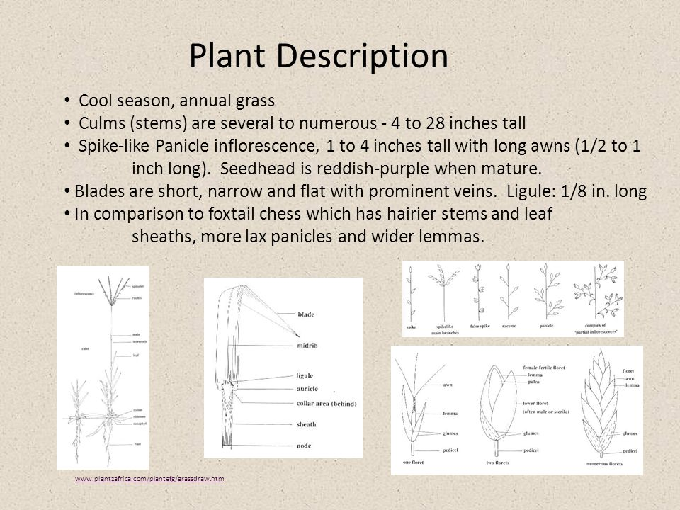 Plant Description Cool season, annual grass Culms (stems) are several to numerous - 4 to 28 inches tall Spike-like Panicle inflorescence, 1 to 4 inches tall with long awns (1/2 to 1 inch long).