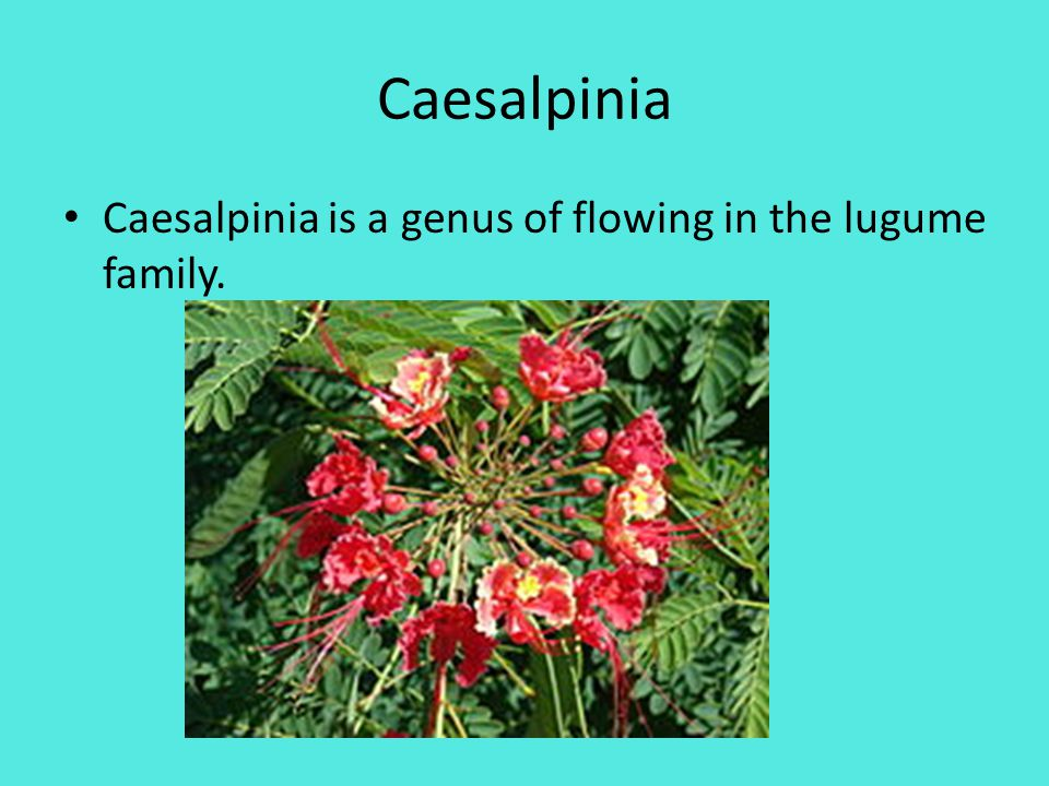 Caesalpinia Caesalpinia is a genus of flowing in the lugume family.