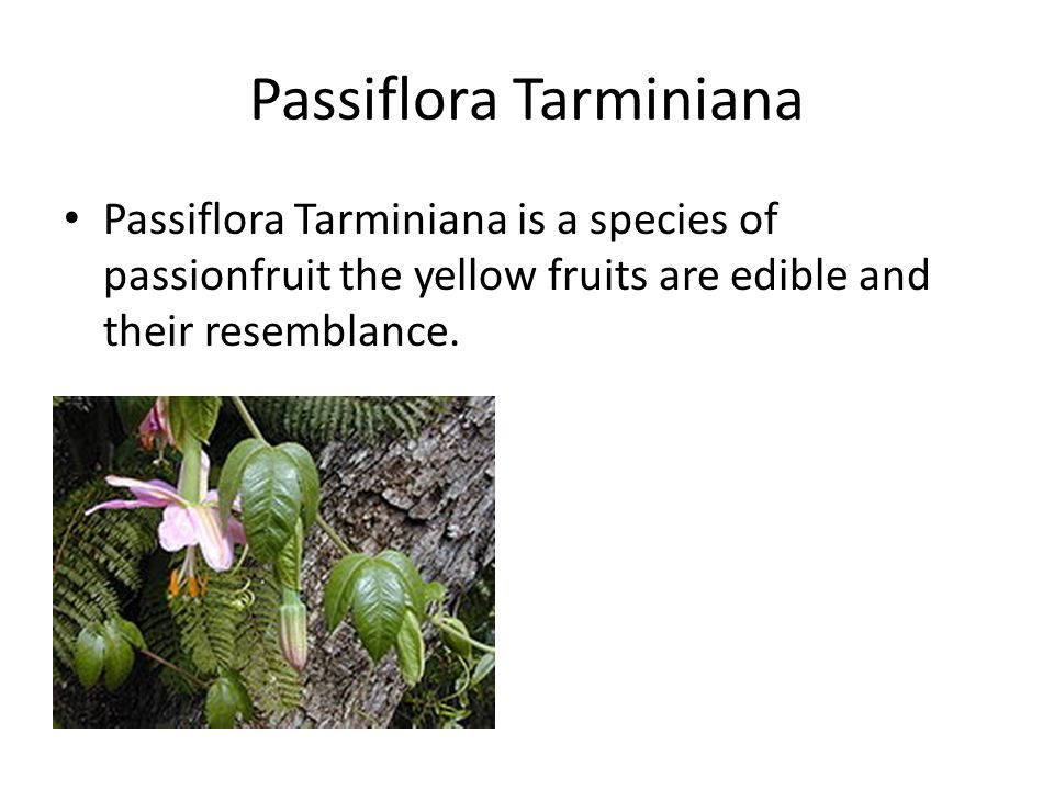 Passiflora Tarminiana Passiflora Tarminiana is a species of passionfruit the yellow fruits are edible and their resemblance.