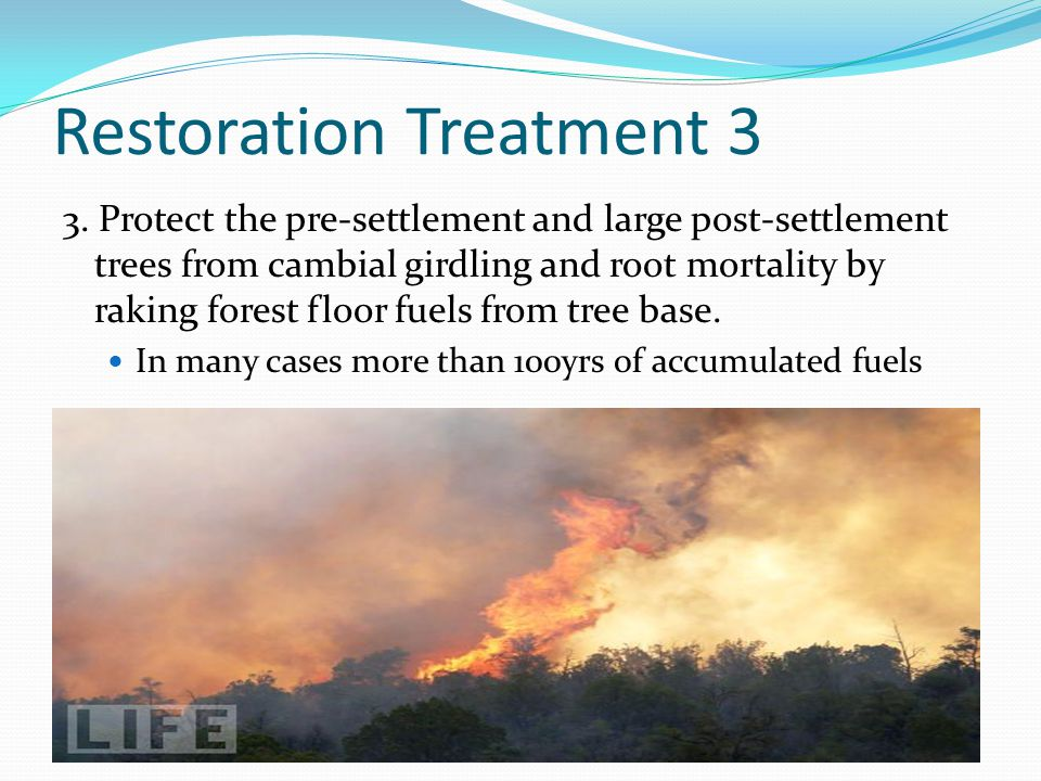Restoration Treatment 3 3. Protect the pre-settlement and large post-settlement trees from cambial girdling and root mortality by raking forest floor