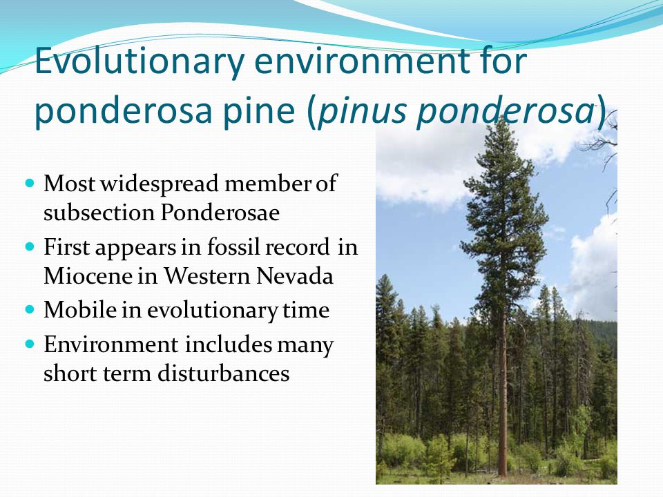 Evolutionary environment for ponderosa pine (pinus ponderosa) Most widespread member of subsection Ponderosae First appears in fossil record in Miocen