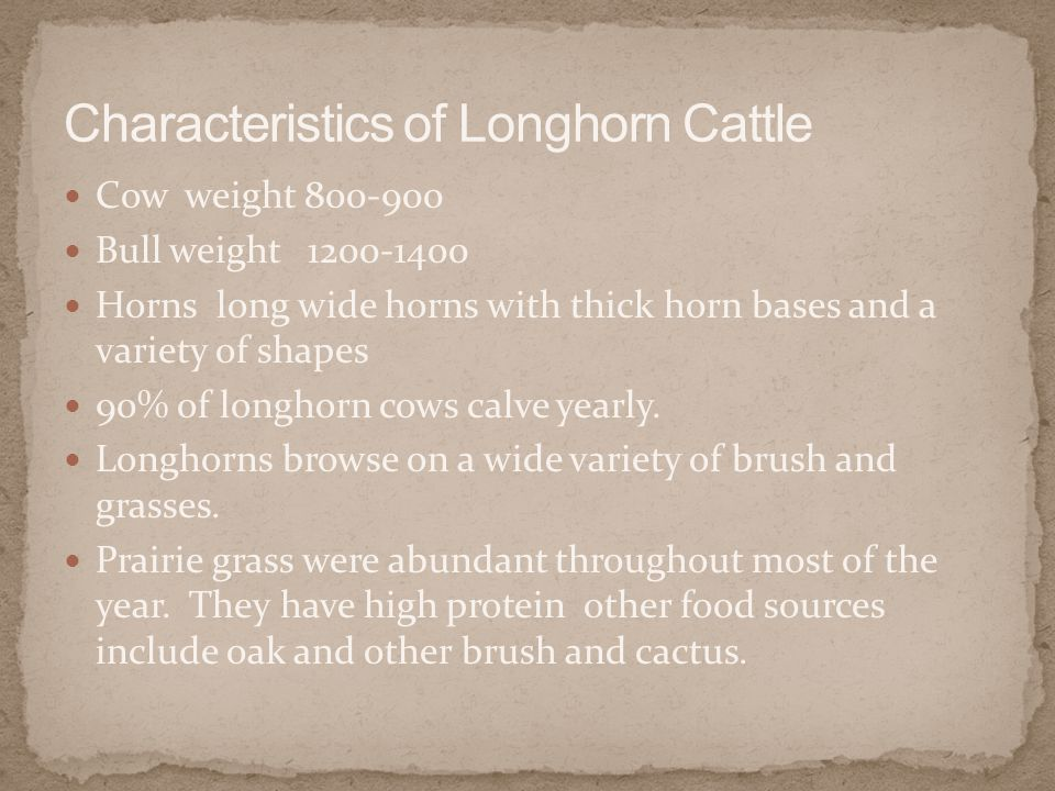 Cow weight 800-900 Bull weight 1200-1400 Horns long wide horns with thick horn bases and a variety of shapes 90% of longhorn cows calve yearly.